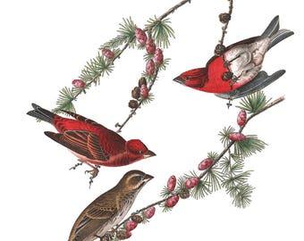 Purple Finch John James Audubon Birds of America Art Print on Metal