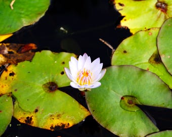 Lilly pads and Lotus
