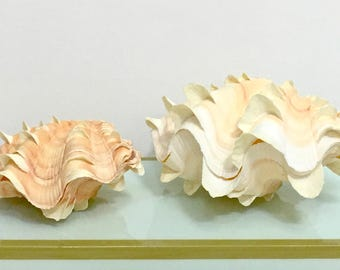 Seashells - Squamosa Shell (one-half) -  beach decor/coastal decor/nautical/sea shells
