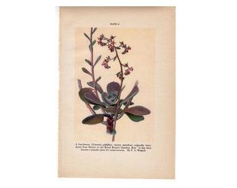 c. 1934  SUCCULENT FLOWER PRINT - vintage botanical print - plant print - old  print - vintage lithograph of flora - live-forever print
