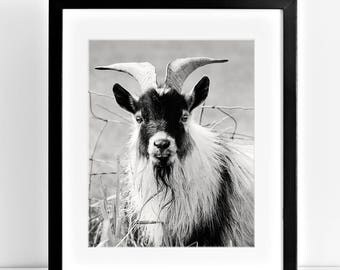 Billy Goat Photograph, Black and White Photography, Cute Goat Art, Physical Print