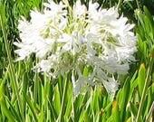 "Agapanthus ""White Giant"" .. 20 seeds"