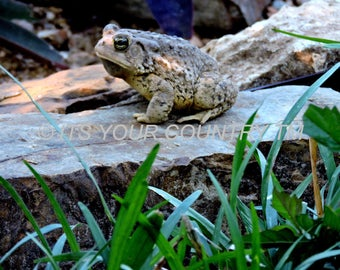 Toad Photo Image Digital Download, Nature Photography, Backyard Amphibian Critter Photograph,Wildlife Instant Printable Image itsyourcountry