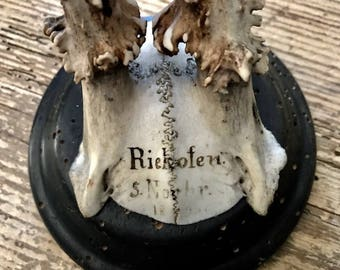 Roe Deer Trophy  1896