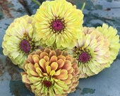 Queen Lime Blush Zinnia, Zinnia Seeds, Great For Cut Flower Gardens and Butterfly Gardens, Easy to Grow Queen Lime Blush Zinnias, 25 Seeds