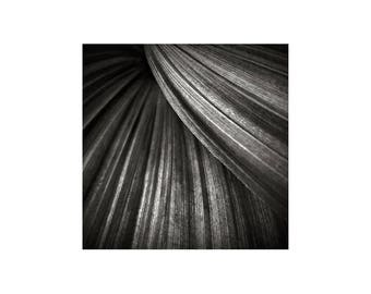 Black and White Photo, Modern Art, Corn Lily, Macro Photo, Sweeping Curves, Nature Photography