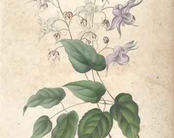 Francois Herincq-Epimedium macranthum violaceum-1854 Lithograph