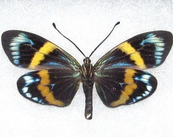 ONE Real Butterfly Blue Eterusia Repleta Day Flying Moth Peru