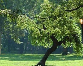 100 White Mulberry Tree Seeds, Morus Alba