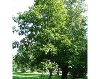 10 Shagbark Hickory Tree Seeds, Carya ovata