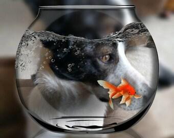 Border Collie looking through a fish bowl