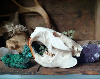 White Beaver Skull, Real Small Animal Bones for Crafts and Home Decor, Natural Supplies