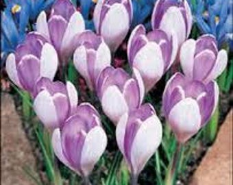 Saffron Crocus seeds,purple white  saffron crocus seeds,crocus of Kozani seeds,211,gardening,