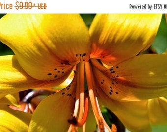 BIG SALE Tiger Lily- Lazy Lady, ( Bulb/Plant) Gorgeous flowers with captivating fragrance, Unusual Double-Flowered Perennial, Lilium lancifo