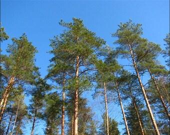 Pine- Organic Pure Essential oil 5ml
