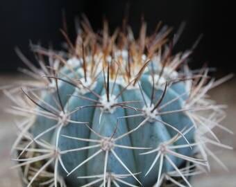 "Stunning Blue Turkish Hat Melocactus azureus 4"" Pot"