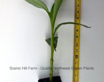 Cold Hardy Banana Plant (Musa Basjoo) - 12-18 Inches Tall