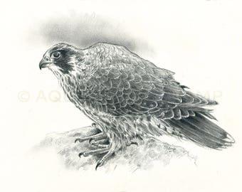 Raptors - Peregrine Falcon