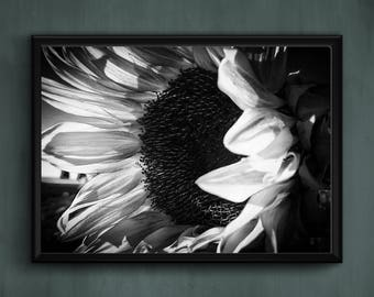 Sunflower Black and White Photograph