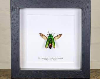 Jember Jewel Beetle in Box Frame (Chrysochroa Fulminans Jember)