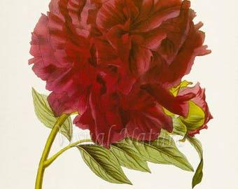 Burgundy Tree Peony Flower Art Print, Botanical Art Print, Flower Wall Art, Flower Print, Floral Print, Red Peony Art Print