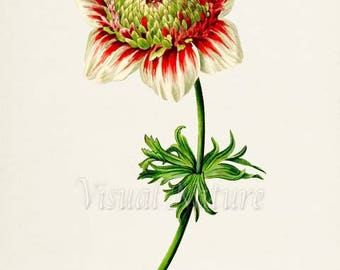 Poppy Anemone Flower Art Print, Botanical Art Print, Flower Wall Art, Flower Print, Home Decor, red, green, white