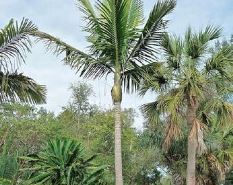 10 Kentiopsis Oliviformis Palm Trees Seeds Rare