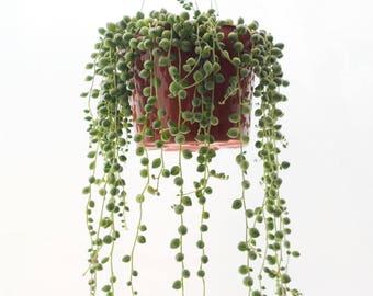 """LARGE String of Pearls Plant 6"""" Hanging Succulents, Rare Succulent Terrarium Plants Exotic Succulent Basket Senecio Rowleyanus Hanging Plant"""