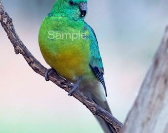 Red Rumped Grass Parrot - Digital Download
