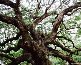 Angel Oak Tree Print, Color print, Matte Photo Paper, Canvas Available upon request