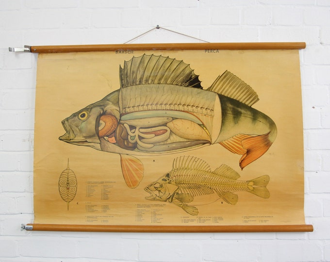 Canvas Wall Chart Of The Perch Circa 1950s