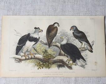 Antique Print of Eagles, Hand Coloured Engraved Illustration , Birds of Prey, Antique Art