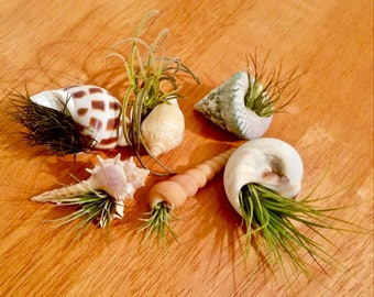 "Small Seashell Planters - 5 Air Plant Beach Wedding Favors (1""-2"")"