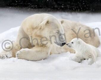 Polar bear , nature photography fine art mounted print .