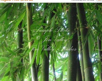 Bamboo 10 Seeds Giant Clumping Bamboo Fast Grower good screen zone 8 or grow as a container plant Dendrocalamus hamiltonii