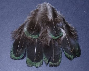Set of 10 royal melarictic pheasant feathers
