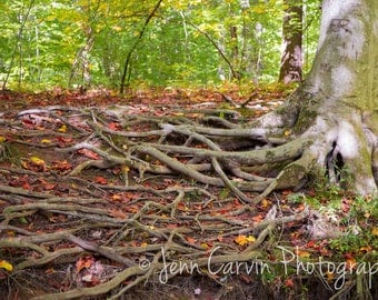 Ridley Creek, PA - Roots - Photography - Landscape - Fine Art - 8x12 Print matted to 11x14 - Ridley Creek State Park