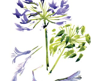 Agapanthus (Lily of the Nile) - Print from the Original Watercolor Sketch