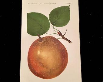 Magnolia Pear - Original Antique Print, 1893 Dept. of Agriculture Print, Vintage Kitchen Decor