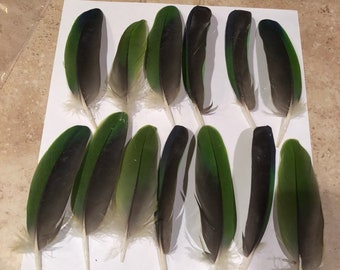 Lot of 13 Amazon Wing Feathers
