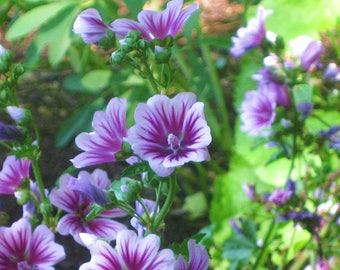 """French Hollyhcok """"Zebrina"""" Live Plant~Malva sylvestris"""