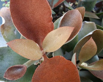 "1 Kalanchoe Orayalis Copper Spoons succulent CUTTING (3-4"")"