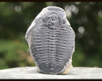 Elrathia Trilobite Fossil found in USA - Cambrian Period - [FST142]