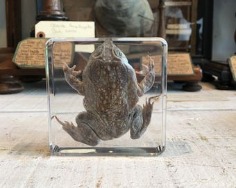 Toad in lucite block, paperweight, taxidermy