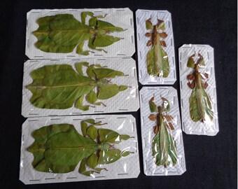 Phyllidae: Phyllium bioculatum pulchrifolium (3 pairs)