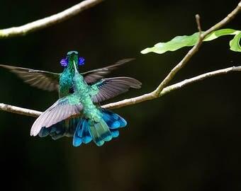 Hummingbirds Sparring in Monteverde, Costa Rica