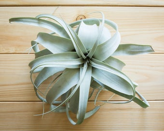 Xerographica, FREE SHIPPING, Medium Air Plant, Tillandsia, Terrarium Air Plant, Plant Gift, Airplant, House Plant, Indoor Plant, Gift Idea