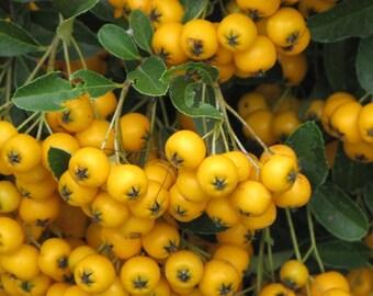 20 Pyracantha coccinea Seeds, Yellow Firethorn Seeds
