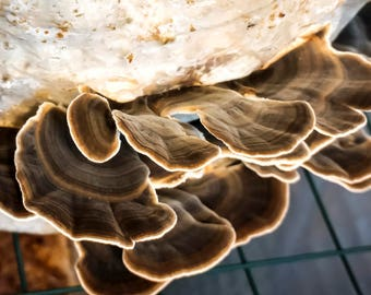 Turkey Tail (Trametes versicolor) 70g Mycelium on Organic substrate with Amicitia growing support