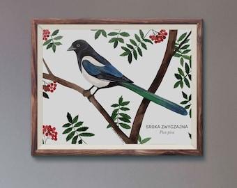 Sroka zwyczajna, Magpie (Pica pica) - illustration - print